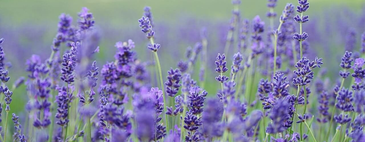 lavender lowers blood pressure